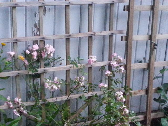 roses in bloom2