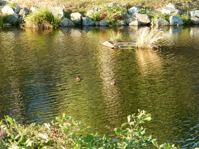 Steveston Dyke Ducks