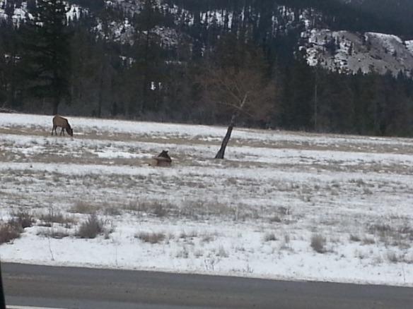Elk - Jasper2 2014